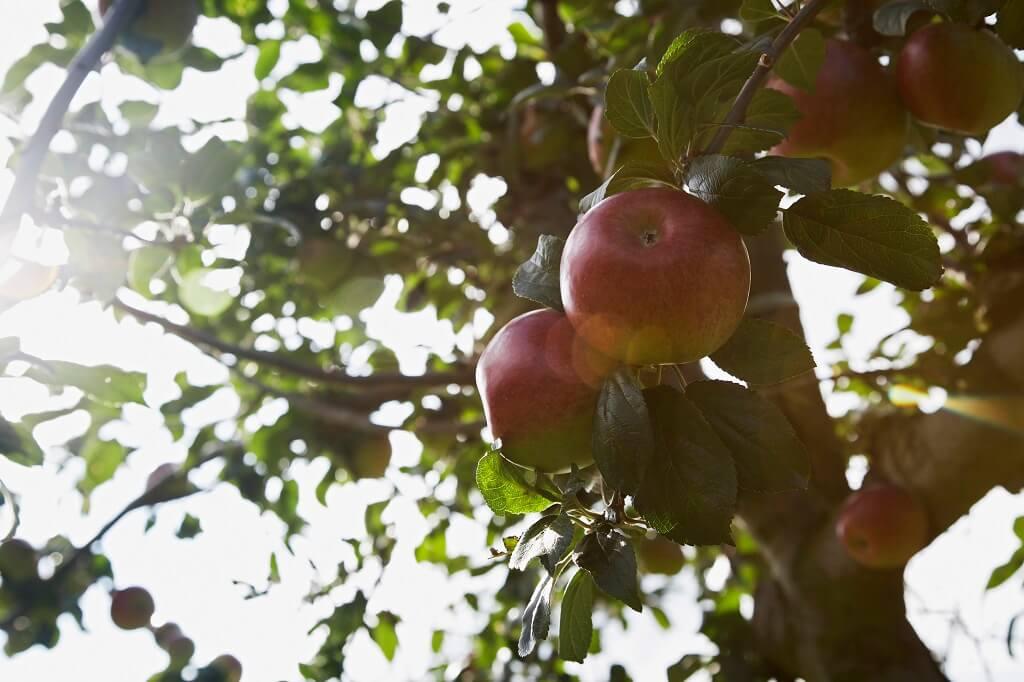 verger pommier fruitier